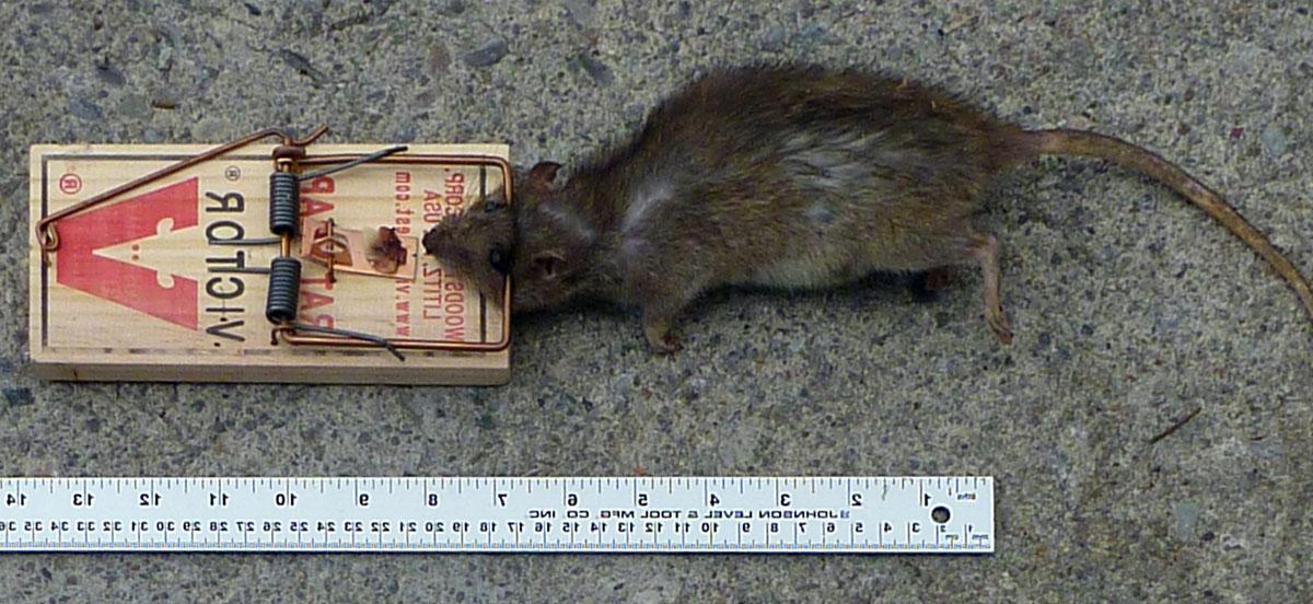 Les Pieges A Rats Et Souris Rats Souris