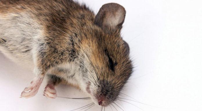 l ultrason contre les souris est il efficace rats souris. Black Bedroom Furniture Sets. Home Design Ideas